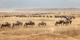 Het migreren Wilderbeast Royalty-vrije Stock Afbeelding