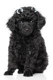 Het miniatuur Puppy van de Poedel Stock Foto's
