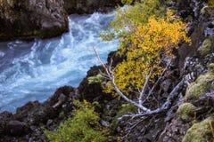 Het miniatuurberkboom hangen op riverbank over de blauwe rivier die weg van Barnafoss-Waterval in westelijk centraal IJsland leid Royalty-vrije Stock Fotografie