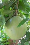 Het mirakelfruit van de kalebasboomboom royalty-vrije stock fotografie