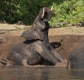 Het Modderbad van de olifant - Botswana Stock Foto's