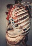Het model van het anatomie menselijke lichaam Een deel van menselijk lichaamsmodel met orgaansysteem Stock Fotografie