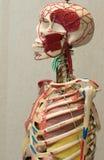 Het model van het anatomie menselijke lichaam Een deel van menselijk lichaamsmodel met orgaansysteem Stock Foto's