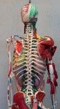 Het model van het anatomie menselijke lichaam Een deel van menselijk lichaamsmodel met orgaansysteem Royalty-vrije Stock Fotografie