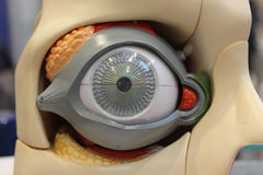 Het model van het oog royalty-vrije stock afbeelding