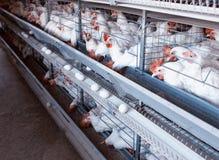 Het moderne Nieuwe Gevogeltefokken en Eierproductie, exemplaarruimte, organisch kippenlandbouwbedrijf, stock foto's
