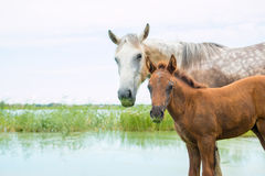 Het moederpaard en het jonge veulen dichtbij de vijver bekijken symmetrisch het kader Stock Afbeeldingen