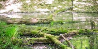 Het moeras in de bos Bemoste boom puilt boven het water uit surfac stock foto's
