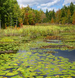 Het moeras van New England & lelievijver stock afbeelding