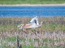Het Moeras van Sandhillcrane attacking another crane in stock afbeeldingen