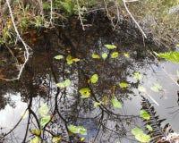 Het Moerasland van Florida Royalty-vrije Stock Fotografie