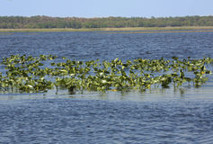 Het moerasvegetatie van meerkissimmee en open water in centrale Overladen Royalty-vrije Stock Foto's