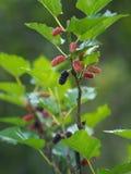 Het moerbeiboomfruit is een veelvoudig fruit royalty-vrije stock fotografie