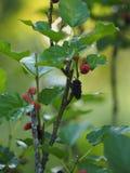 Het moerbeiboomfruit is een veelvoudig fruit royalty-vrije stock afbeeldingen