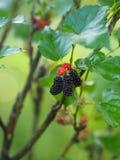 Het moerbeiboomfruit is een veelvoudig fruit royalty-vrije stock foto's