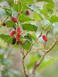 Het moerbeiboomfruit is een veelvoudige installatie van de fruitboom stock afbeeldingen