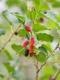 Het moerbeiboomfruit is een veelvoudige installatie van de fruitboom royalty-vrije stock afbeeldingen