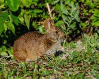 Het Mondvol van Marsh Rabbit ` s Stock Fotografie