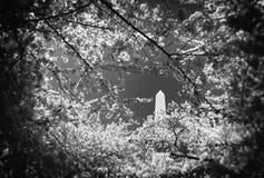 Het Monument van Washington door de Bloesems van de Kers Stock Foto