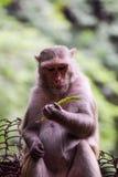 Het mooie aap concentreren zich Stock Afbeelding