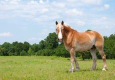 Het mooie Belgische kijken van het Paard van het Ontwerp Stock Afbeeldingen