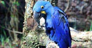 Het mooie Blauwe Papegaai Spelen met een Steen stock footage