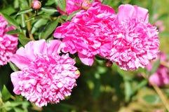 Het mooie bloeien Stock Foto