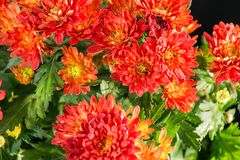Het mooie bloeien Daisy stock foto