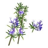 Het mooie Bloeien Rosemary Herb Sprigs royalty-vrije illustratie