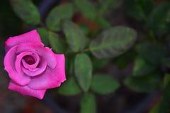 Het mooie Bloeien Roze Rose Flower met Onduidelijk beeldachtergrond stock foto's