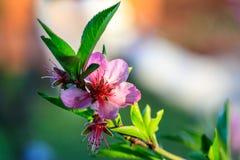 Het mooie bloeien van de bomen van het abrikozenfruit met dalingen Stock Afbeelding