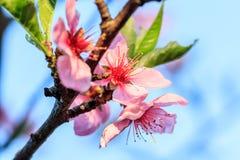 Het mooie bloeien van de bomen van het abrikozenfruit met dalingen Royalty-vrije Stock Afbeelding