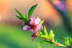 Het mooie bloeien van de bomen van het abrikozenfruit met dalingen Stock Fotografie