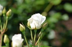 Het mooie Bloeien Witte Rose Blossom in een Tuin stock foto