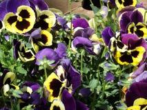 Het mooie bloeiende viooltje van de installatiebloem met spangled bloemblaadjes stock afbeeldingen