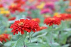 Het mooie bloem bloeien en zonsopgang in de avond royalty-vrije stock foto's