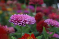 Het mooie bloem bloeien en zonsopgang in de avond stock fotografie