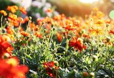 Het mooie bloem bloeien en zonsopgang in de avond royalty-vrije stock afbeelding