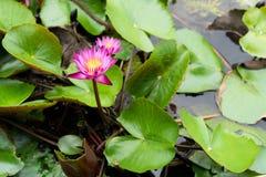 Het is mooie bloem Roze Lotus in Rode Lotus Floating Maket Ba stock foto's