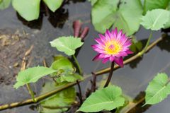 Het is mooie bloem Roze Lotus in Rode Lotus Floating Maket Ba royalty-vrije stock fotografie
