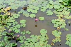 Het is mooie bloem Roze Lotus in Rode Lotus Floating Maket Ba royalty-vrije stock foto's