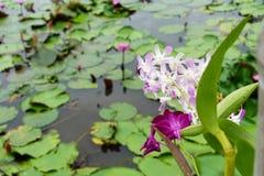 Het is mooie bloem Roze Orchidee in Rode Lotus Floating Maket B royalty-vrije stock afbeelding