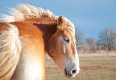Het mooie blonde Belgische paard van het Ontwerp Stock Afbeeldingen