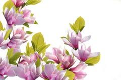 Het mooie boeket van de magnoliabloem op witte achtergrond royalty-vrije stock foto's