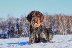 Het mooie Boheemse Wire-haired Richten Griffon die in de sneeuw liggen en op signaal wachten Cesky fousek is grote jager Korthals stock afbeeldingen
