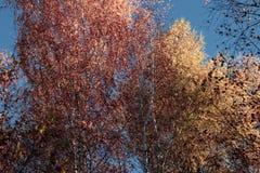 Het mooie bos van de de herfst gele berk in Rusland stock afbeeldingen