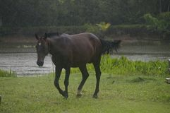 Het mooie bruine paard galopperen Royalty-vrije Stock Fotografie