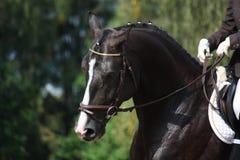 Het mooie bruine portret van het sportpaard Stock Foto's