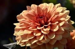 Het mooie close-up van de Dahliabloei stock afbeelding