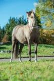 Het mooie de merrie van de daim Welse poney stellen in mooie plaats stock afbeeldingen